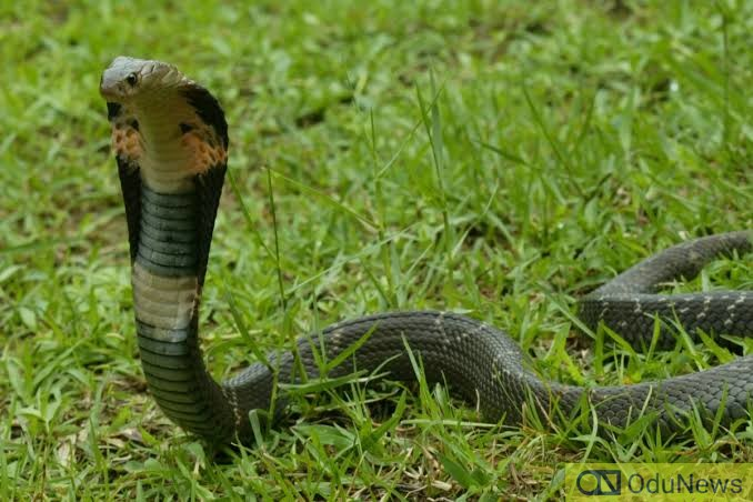 'Coronavirus Virus May Have Been Contracted From Snakes'