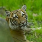 Tiger Infected With Coronavirus After Zoo Keeper Tests Positive