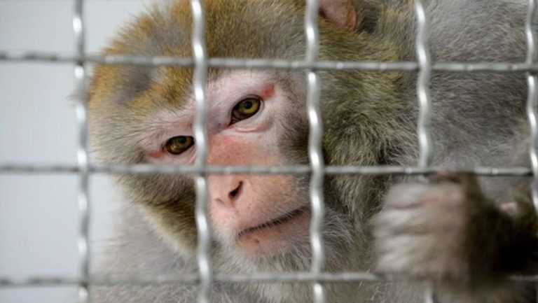 Alcoholic Monkey Sentenced To Life Imprisonment After Attacking 250 Humans